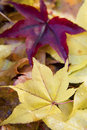 Japanese maple leaves Royalty Free Stock Photo