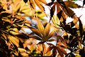 Japanese maple leaves backlit sun Royalty Free Stock Photos