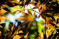 Japanese maple leaves backlit sun Royalty Free Stock Images