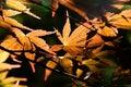 Japanese maple leaves backlit sun Royalty Free Stock Photo