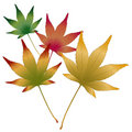 Japanese Maple leaves vector Stock Images