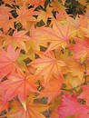 Japanese maple Lutescens Stock Image