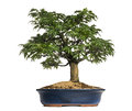 Japanese maple or shishigashira bonsai tree acer palmatum isolated on white Stock Images
