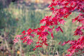 Japanese maple toned imaged of branch with bright red leaves Stock Image