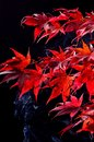 Japanese maple tree acer palmatum on black red autumn colour background Stock Photography