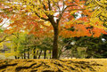 Japanese maple tree in autumn Royalty Free Stock Photos