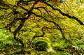 Japanese maple tree in the garden in portland oregon Royalty Free Stock Images