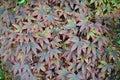 Japanese maple tree Royalty Free Stock Photo