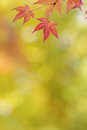 Japanese maple tree leaves colorful background in autumn garden Royalty Free Stock Image