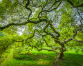 Japanese Maple Tree in Princeton New Jersey Royalty Free Stock Photo