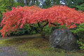 Japanese Maple Tree by Rock in Autumn
