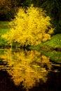 Japanese maple tree with yellow fall foliage Royalty Free Stock Photo