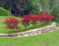 Japanese maples acer palmatum on naumkeag country estate Stock Photography