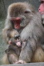 Japanese monkey baby Royalty Free Stock Photo