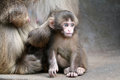 Japanese monkey baby Royalty Free Stock Photo