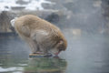 Japanese monkey in winter a drinking from a pool while snow falling Royalty Free Stock Photos