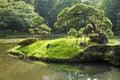 Japanese pine Royalty Free Stock Photo