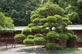 Japanese pine scenic tree on the temple yard Royalty Free Stock Photography