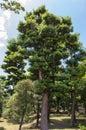 Japanese pine tree in zen garden Royalty Free Stock Photography