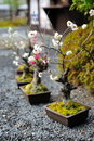 Japanese plum bonsai blossoming Royalty Free Stock Photography