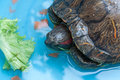 Japanese pond turtle Royalty Free Stock Photo