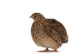 Japanese quail on a white background a bird that lays the golden eggs Royalty Free Stock Image