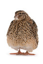 Japanese quail on a white background a bird that lays the golden eggs Stock Photography