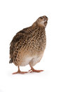 Japanese quail on a white background a bird that lays the golden eggs Stock Photos