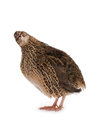 Japanese quail on a white background a bird that lays the golden eggs Royalty Free Stock Photos
