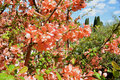 Japanese quince blossoming Royalty Free Stock Photo