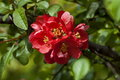 Japanese quince or Chaenomeles speciosa branch - blossoming in springtime Royalty Free Stock Photo