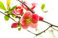 Japanese quince flower chaenomeles japonica Royalty Free Stock Images