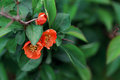 Japanese Quince Over Nature Gr...