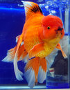 Japanese Ranchu Yellow Goldfish Stock Images