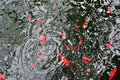 Japanese red koi fish in swiming in pond water reflection Stock Image