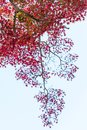 Japanese red maple leaves against the sky, use for background in japan autumn concepts. Bottom view. Royalty Free Stock Photo