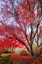 Japanese Red Maple tree Royalty Free Stock Photo