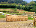Japanese rice field Royalty Free Stock Photography