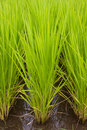 Japanese rice field Royalty Free Stock Photo