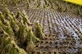 Japanese rice field in autumn harvest Royalty Free Stock Photo