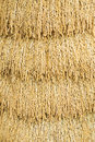 Japanese rice paddy close up golden color texture Stock Photos