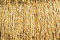 Japanese rice paddy close up golden color texture Royalty Free Stock Image