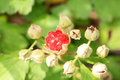 Japanese rubus buergeri in japan Stock Images