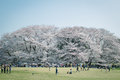 Japanese Sakura cherry blossoms in full bloom in park, Tokyo Royalty Free Stock Photo
