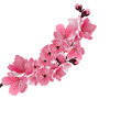 Japanese sakura. One lush branch dark pink cherry blossom close-up.