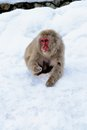 Japanese snow monkey eating in the macaque jigokudani park Royalty Free Stock Photo