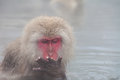 Japanese snow monkey eating rice in the water Stock Image