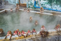 Japanese Snow monkey Macaque in hot spring On-sen , Hakodate, Japan Royalty Free Stock Photo