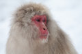 Japanese snow monkey with sad eye Royalty Free Stock Photo