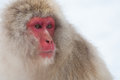 Japanese snow monkey with a serious look Royalty Free Stock Image